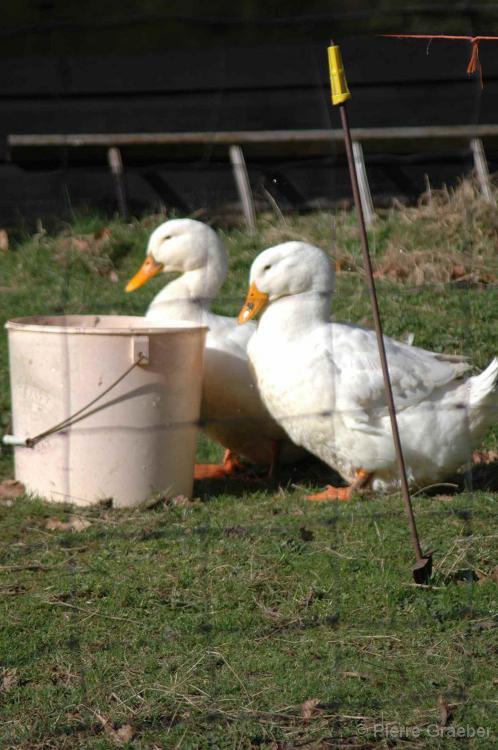 Village geese